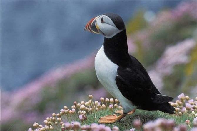 点击大图看下一张:善于游泳和潜水的善知鸟图片