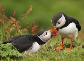 美丽可爱的善知鸟图片