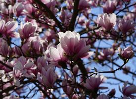淡雅芳香的玉兰花图片