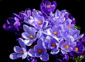 清新典雅的番红花图片