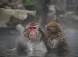在温泉嬉戏的猕猴图片