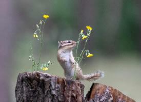 在树桩上玩耍的花栗鼠图片