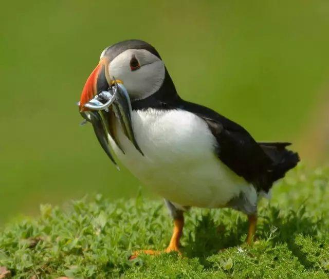 点击大图看下一张:乖巧可爱的善知鸟图片