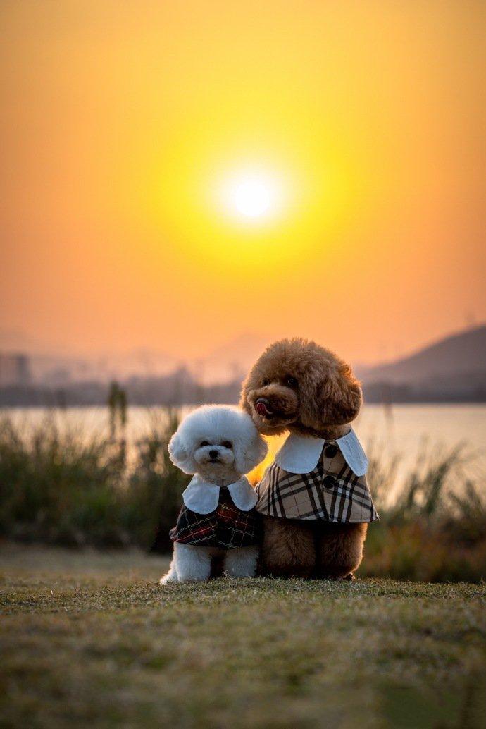 点击大图看下一张:夕阳下的泰迪狗狗