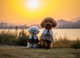 夕阳下的泰迪狗狗