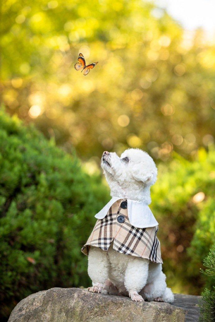 点击大图看下一张:一组活泼的白色泰迪银杏外景图