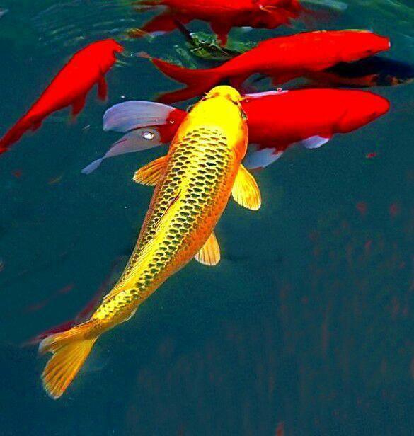 点击大图看下一张:优美漂亮的锦鲤图片