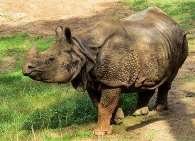 一头高大强健的犀牛图片