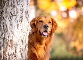 一组乖巧帅气的金毛狗狗图片