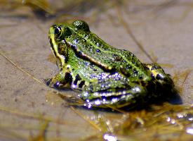 绿色的青蛙图片欣赏