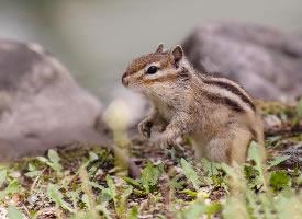 一组讨喜可爱的花栗鼠图片