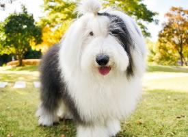 毛发飘逸的古牧犬