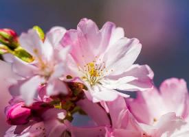 粉嫩茂盛的樱花图片