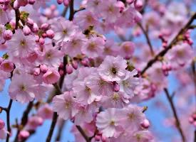 鲜艳亮丽的樱花图片