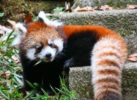 动物园里顽皮的小熊猫图片