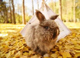 一组银杏树下的兔子摄影图片