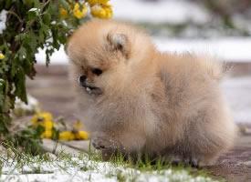 软软可爱的小奶狗博美图片