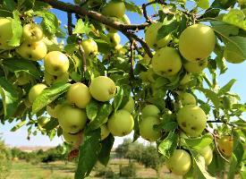 挂在枝头的青苹果图片