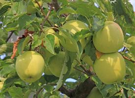 一组酸甜多汁的青苹果图片