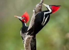 森林卫士——啄木鸟图片