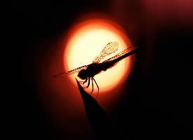 夕阳下的红蜻蜓图片
