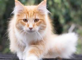 一组橘色的缅因猫图片