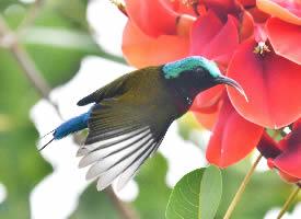鸡冠刺桐花上的叉尾太阳鸟