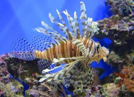 张牙舞爪的狮子鱼图片