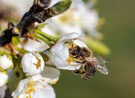 一组采蜜的蜜蜂图片