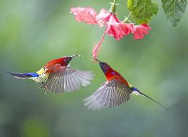 灵动活泼的太阳鸟图片