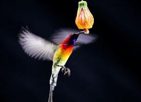 采花蜜的太阳鸟图片