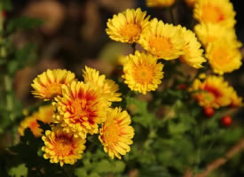 一组黄色的菊花图片