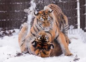一组顽皮打闹的老虎图片