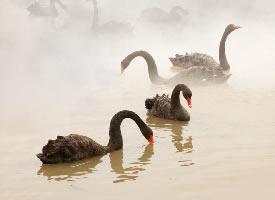 一组自带仙气的黑天鹅图片