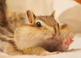 一只非常能吃的花栗鼠图片