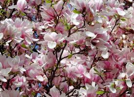端庄优美的玉兰花图片
