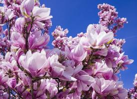一组淡紫红色的玉兰花图片