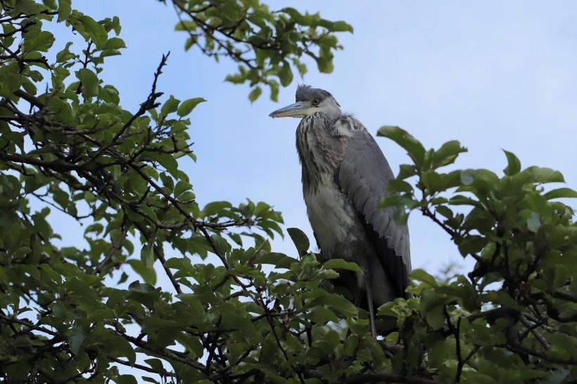 点击大图看下一张:一组高贵美丽的苍鹭图片