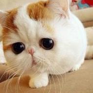 萌哒哒胖胖可爱的猫咪动物qq头像图片
