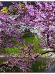 花明夜櫻日本