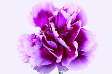 紫色康乃馨图片素材