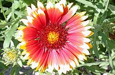 紅黃太陽花圖片