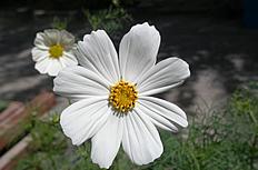白色太阳花图片