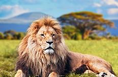 狮子高清图片
