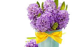 紫色风信子高清图片