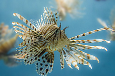海洋生物狮子鱼高清图片