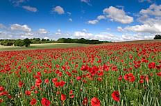 红色罂粟花海高清图片