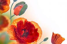 红色罂粟花特写图片素材
