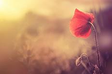 风中摇曳的罂粟花高清图片