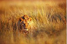 乱草丛中的狮子高清图片